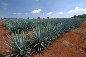 Tequila Vs Mezcal – Mezcal PhD