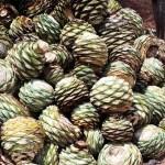Agave Tobala_crop