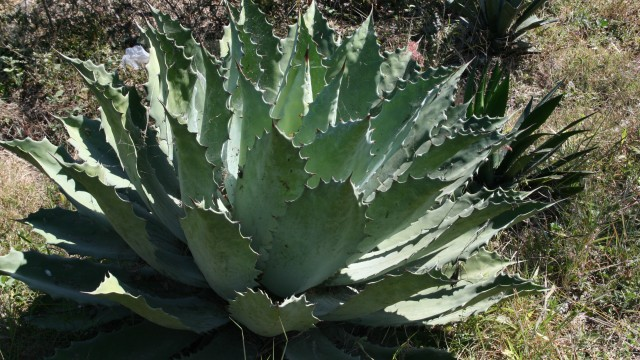 Agave tobala in the wild